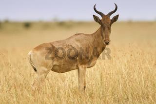 Hartebeest in the wilderness