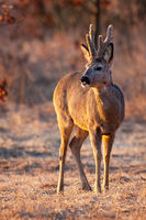 Majestic roe deer buck with large antlers in velvet looking at sunset in spring.