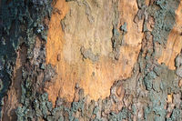 Abstract natural background with lichen on a tree bark