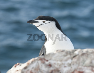 Portrait of Antarctic penguin looking out over the cliff.