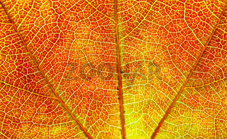 Blattstruktur / structure of leaf