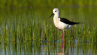 Lovely black-winged stilt standing in water in spring nature with copy space