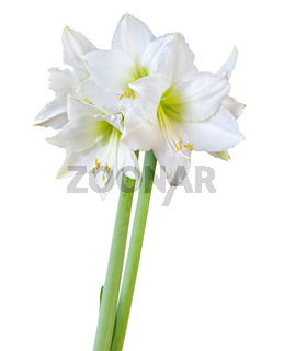 Beautiful bouquet of white Amaryllis (Amaryllidaceae, Hippeastrum) with bud isolated on white background, including clipping path.