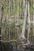 Bäume im Erlenbruchwald und Spiegelung