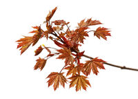 Branch of maple tree with autumn dark red maple-leafs