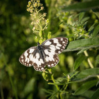 Butterfly western marbled white on a plant