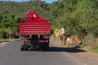 Cattle and camel between traffic, Ethiopia