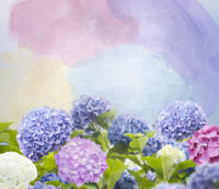 Colorful hydrangea flowers watercolor illustration.