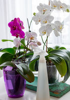 Blooming orchids on the windowsill.