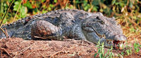 Nilkrokodil im Murchison Falls Nationalpark Uganda (Crocodylus niloticus) | Nice crocodile, Murchison Falls National Park Uganda (Crocodylus niloticus)