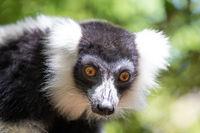 A black and white Vari Lemur looks quite curious