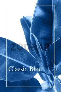 Ficus Elastica toned with Classic blue color