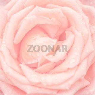 Abstract macro shot of beautiful pink rose