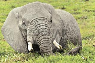 Elefant in den Sümpfen von Amboseli