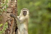Vervet monkey in the wilderness