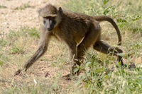 Vervet monkey in the natural habitat of the African savannah