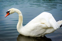 White swan swimming on a pond