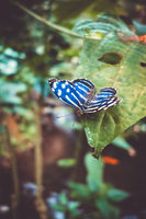 Blue tropical butterfly on a leaf