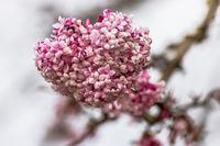 Blütenstand mit offenen Blüten des Winterschneeballs - Bodnant Viburnum