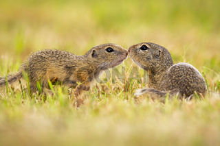 Two european ground squirrel touching on meadow in summer.