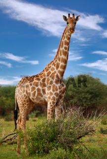 Giraffe, Etosha Park, Namibia, giraffe, Giraffa camelopardalis