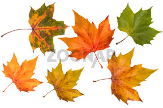 autumn leaves (isolated)