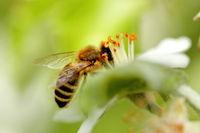 Honigbiene auf weisser Blüte