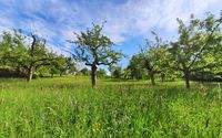 Orchard with trees and green meadow
