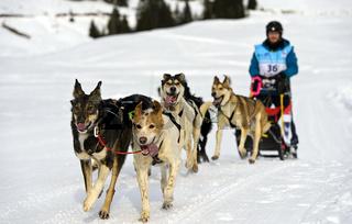 Hundeschlittenteam, Praz de Lys Sommand, Haute-Savoie, Savoyen, Frankreich