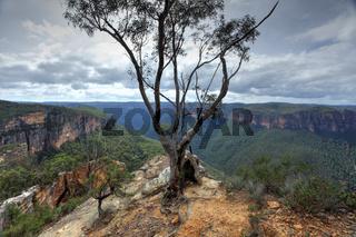 Magnificent gum tree at  Burramoki Headland overlooking Grose Valley Australia