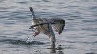 Eine Möwe taucht nach kleinen Krabben - auf Nahrungssuche