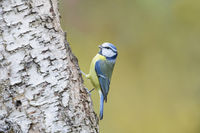 Blaumeise, blue tit, Parus caeruleus