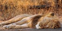 Löwenmännchen, Kruger NP, Südafrika - male lion, Kruger NP, South Africa