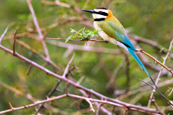 Weißkehlspint im Queen Elizabeth Nationalpark, Uganda (Merops albicollis) - white-throated bee-eater