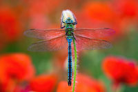 Southern migrant hawker sitting on red poppy flower