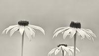 Schwarzweiß Aufnahme der Blüten des gelben Sonnenhuts (Rudbeckia fulgida) vor neutralem Hintergrund