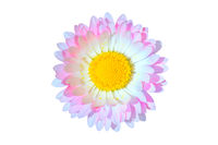 Single pink and blue daisy Bellis flower head isolated on white background macro. Top view. Copy space