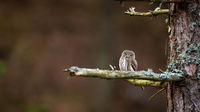Eurasian pygmy owl resting on tree with space for text