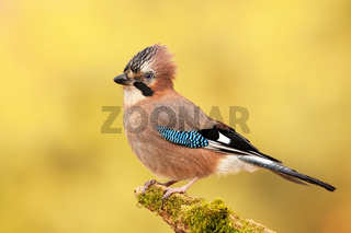 Eurasian jay sitting on a moss covered branch in autumn