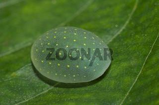 Limacodid Slug Caterpillar, Thane, Maharashtra, India