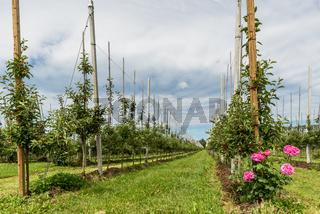 Apfelplantage mit jungen Äpfeln im Frühling, Kressbronn am Bodensee, Baden-Württemberg, Deutschland