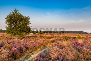 Ginkel heath Ede in bloom