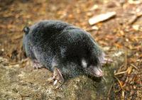 Maulwurf, Talpa europaea, European mole