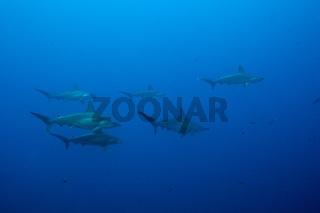 Bogenstirn-Hammerhaie, Mexiko