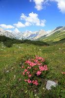 alpenrosenbusch im hochgebirge