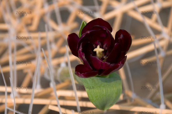 The close view of dark tulip over sticks