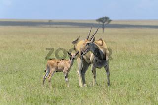 Elands antelope