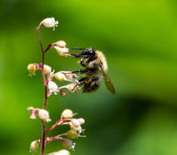 Bumblebee collecting nectar on a flower blossom