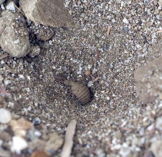 Ameisenloewe im Sandtrichter