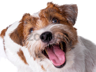 Jack Russell Terrier Puppy Close Up portrait